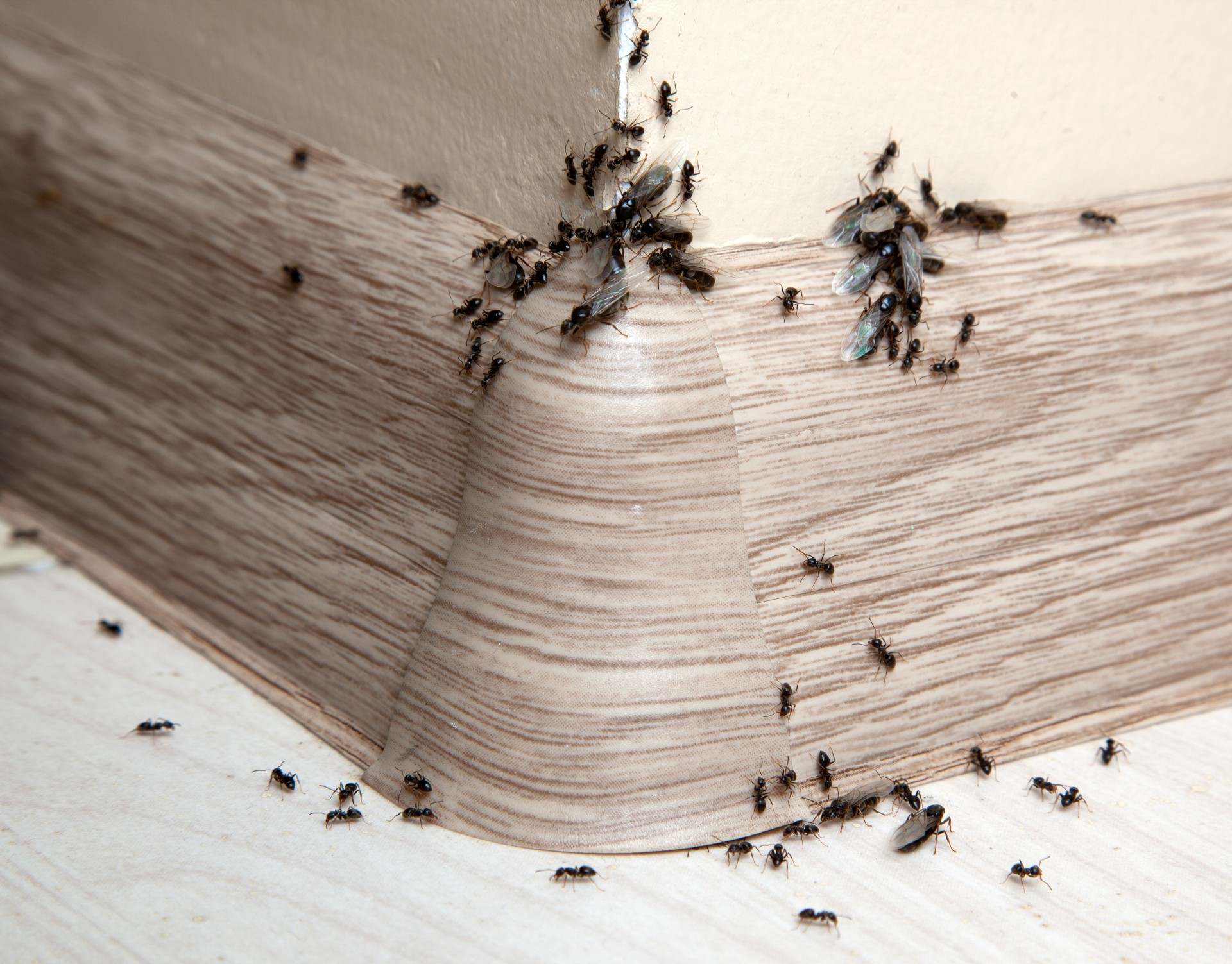 Ant Infestation, Pest Control in Weybridge, Oatlands, KT13. Call Now 020 8166 9746