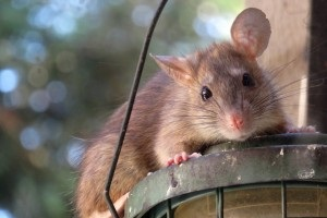 Rat Control, Pest Control in Weybridge, Oatlands, KT13. Call Now 020 8166 9746