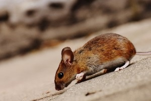 Mouse extermination, Pest Control in Weybridge, Oatlands, KT13. Call Now 020 8166 9746